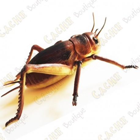 """Cache """"Insecto"""" - Gran grillo"""